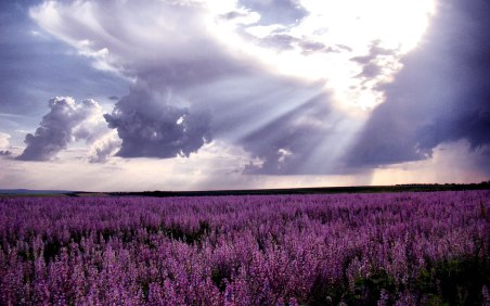 lavender-hd-wallpapers-4